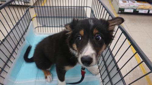 子犬・買い物へゆく