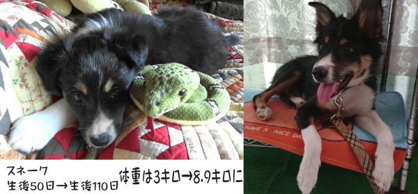 子犬生後50日→110日